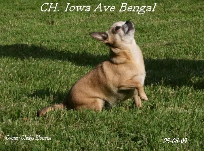 Mammy Iowa (Multi CH. Iowa Ave Bengal)  Iowa2chistuin24-6-09262