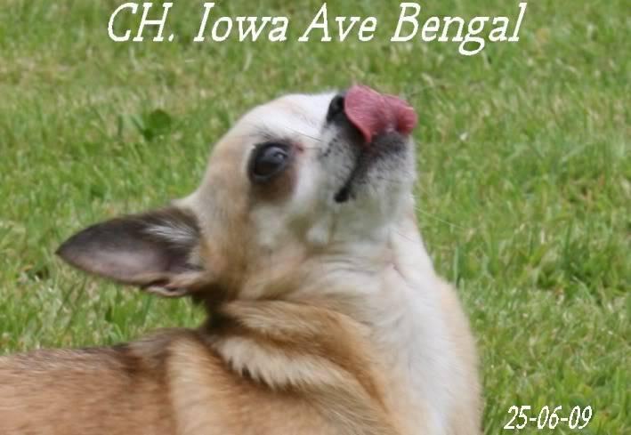 Mammy Iowa (Multi CH. Iowa Ave Bengal)  Iowa3chistuin26-6-09148