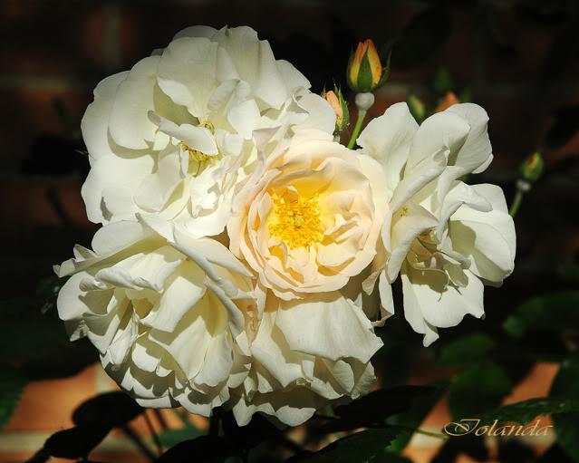 Algunas rosas de mi jarín :) - Página 2 DSC_2115rec