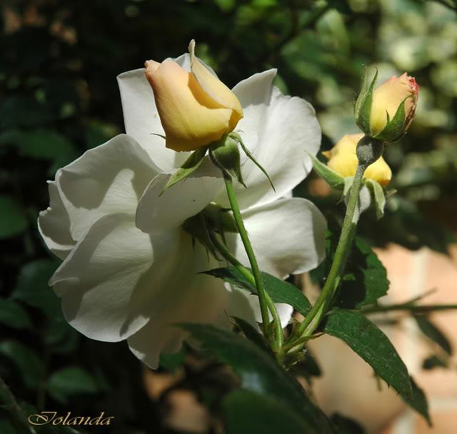 Algunas rosas de mi jarín :) - Página 2 DSC_2117rec