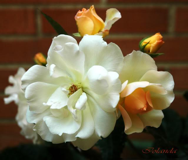 Algunas rosas de mi jarín :) - Página 2 DSC_2138rec
