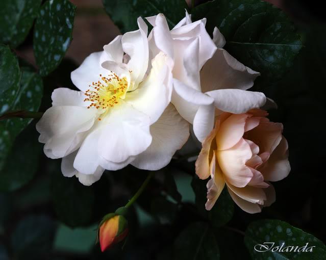 Algunas rosas de mi jarín :) - Página 2 DSC_8160rec