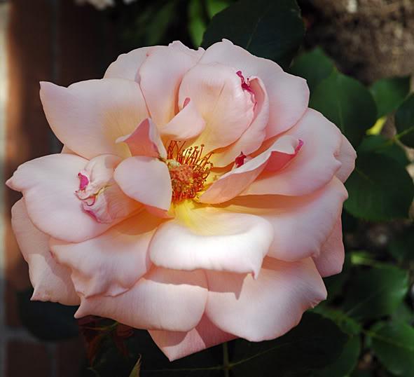 Algunas rosas de mi jarín :) DSC_1687recrec