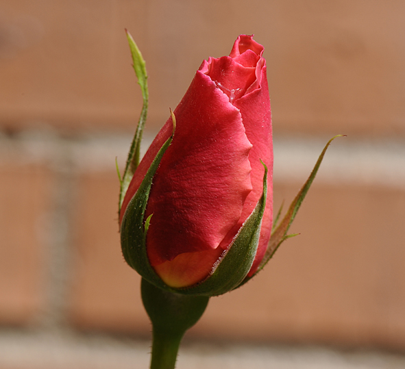Algunas rosas de mi jarín :) DSC_7003recrec