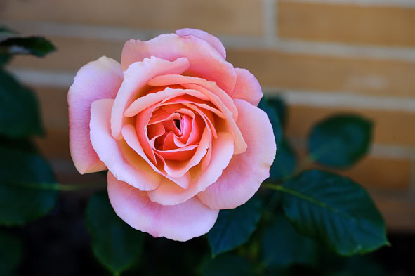 Algunas rosas de mi jarín :) DSC_7172recrec