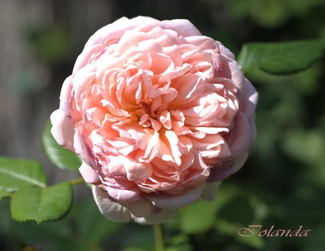 Algunas rosas de mi jarín :) - Página 4 DSC_0107rec