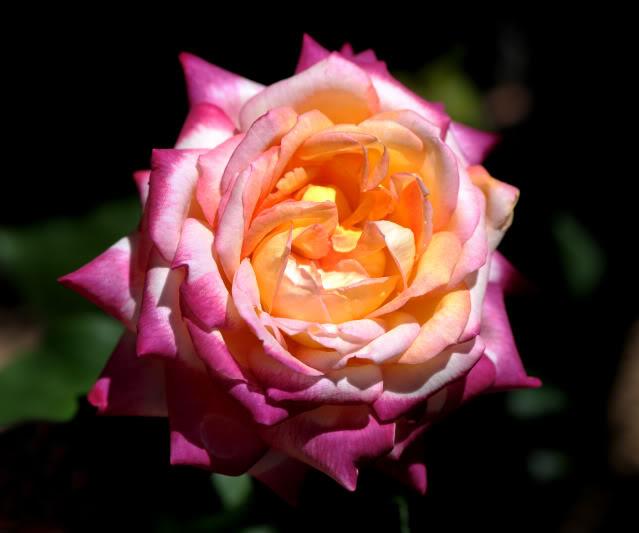 Algunas rosas de mi jarín :) - Página 2 DSC_0128rec