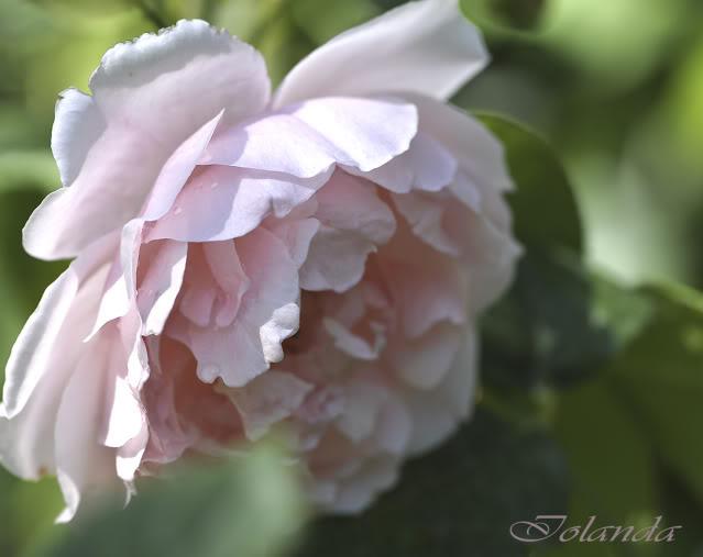 Algunas rosas de mi jarín :) - Página 4 DSC_0174reccopia