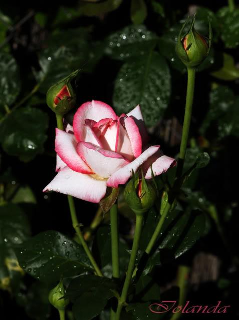 Algunas rosas de mi jarín :) - Página 2 DSC_0194rec