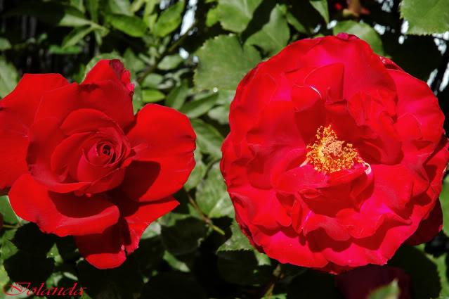 Algunas rosas de mi jarín :) - Página 3 DSC_0248recrec