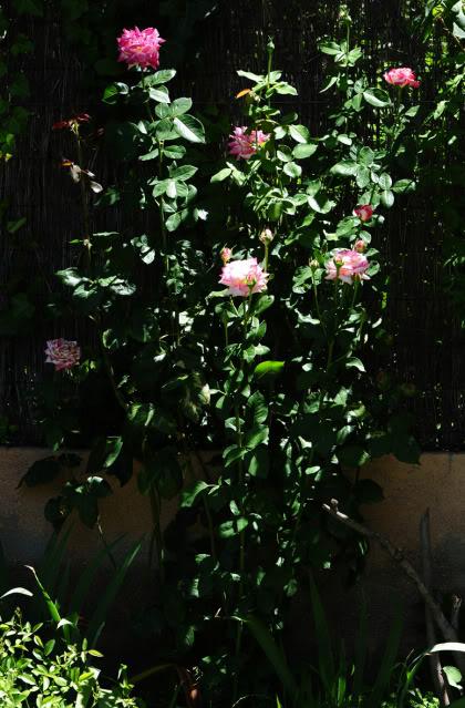 Algunas rosas de mi jarín :) - Página 2 DSC_0295rec