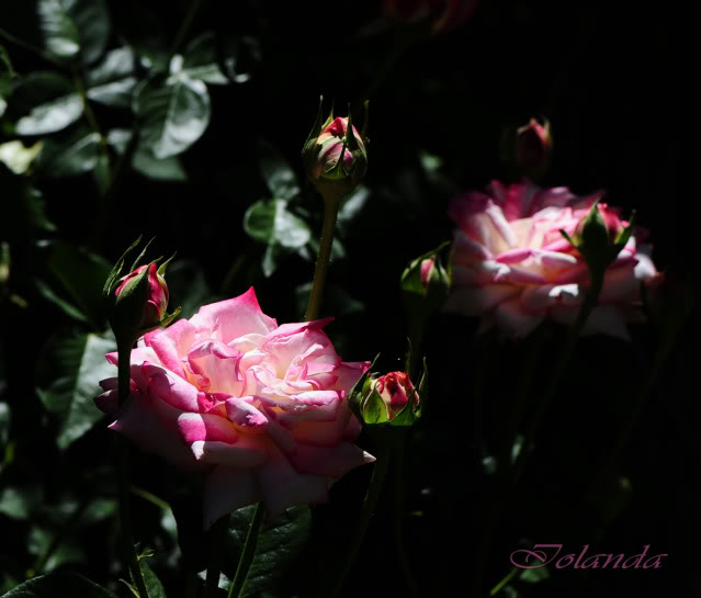 Algunas rosas de mi jarín :) - Página 2 DSC_0296rec