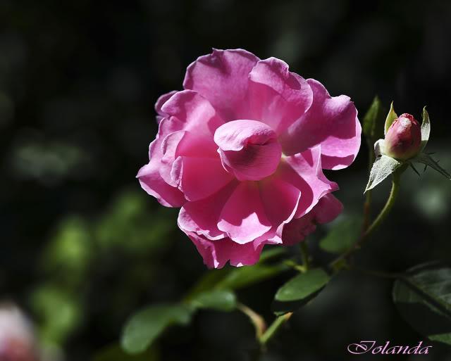 Algunas rosas de mi jarín :) - Página 4 DSC_0697rec