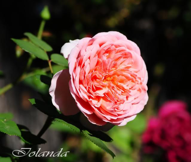 Algunas rosas de mi jarín :) - Página 2 DSC_0738rec