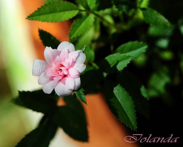 Algunas rosas de mi jarín :) - Página 3 DSC_0858rec