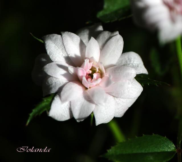 Algunas rosas de mi jarín :) - Página 3 DSC_0899rec