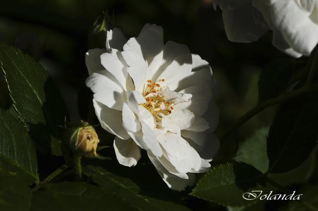 Algunas rosas de mi jarín :) - Página 3 DSC_0924rec