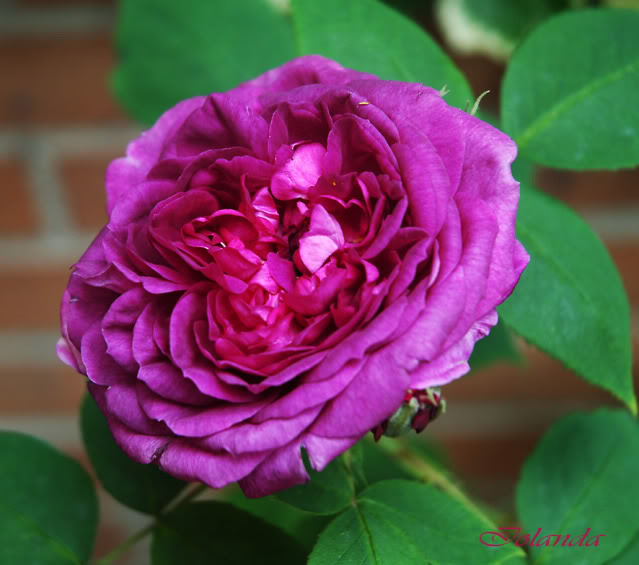 Algunas rosas de mi jarín :) DSC_1654recrec
