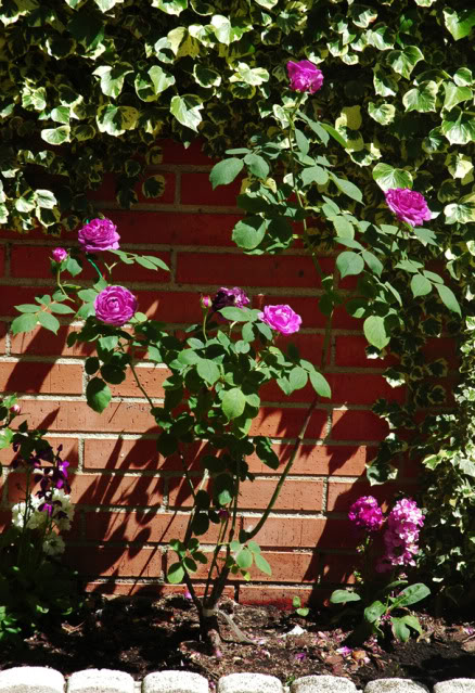 Algunas rosas de mi jarín :) DSC_1746recrec