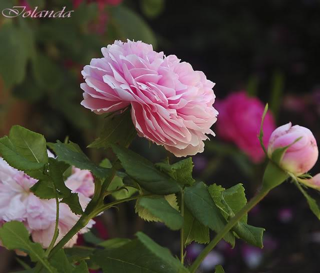 Algunas rosas de mi jarín :) - Página 3 DSC_2083rec