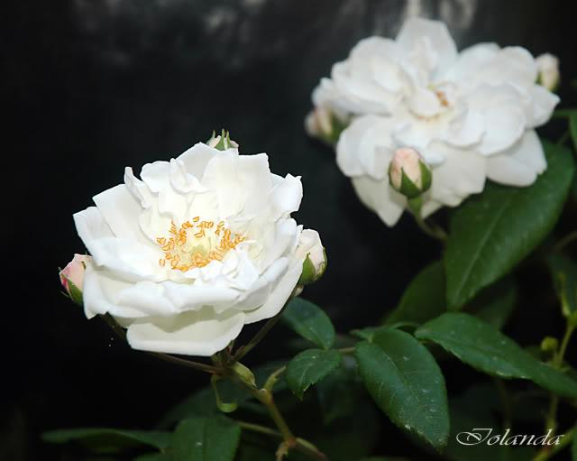 Algunas rosas de mi jarín :) - Página 3 DSC_2126rec