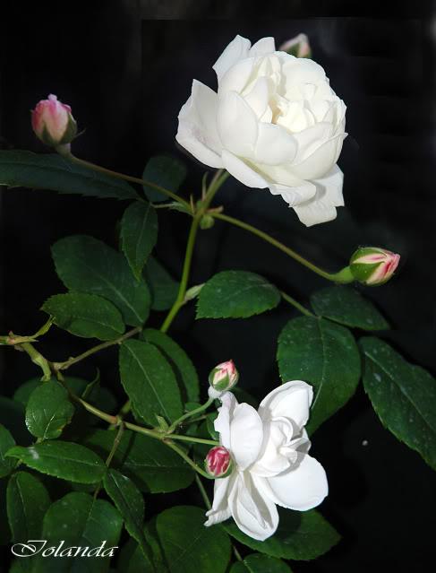 Algunas rosas de mi jarín :) - Página 3 DSC_2127rec-1