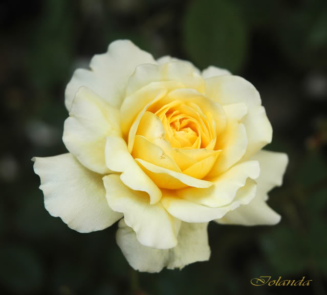 Algunas rosas de mi jarín :) - Página 4 DSC_2133rec