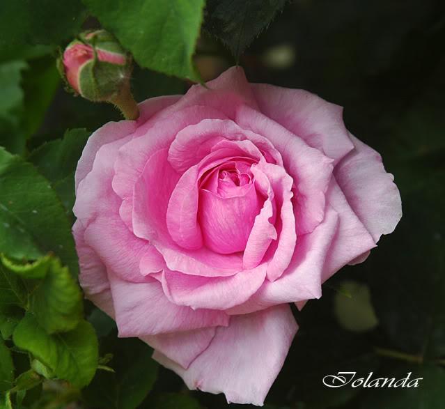 Algunas rosas de mi jarín :) - Página 3 DSC_2169rec