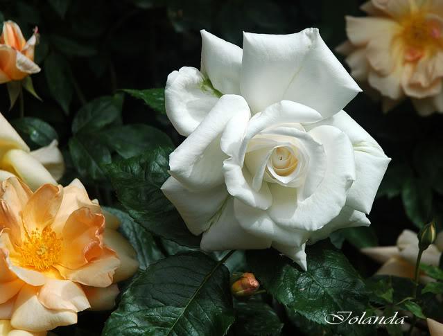 Algunas rosas de mi jarín :) - Página 3 DSC_2176rec