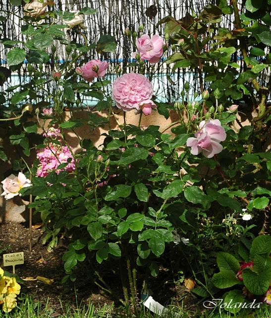 Algunas rosas de mi jarín :) - Página 4 DSC_2185rec