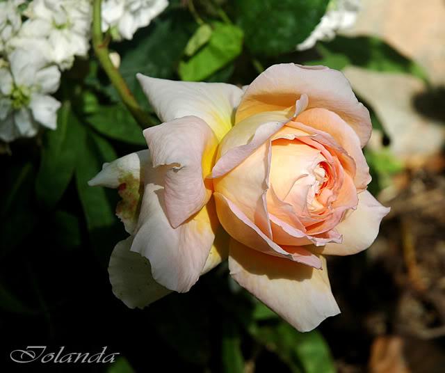Algunas rosas de mi jarín :) - Página 2 DSC_2221rec