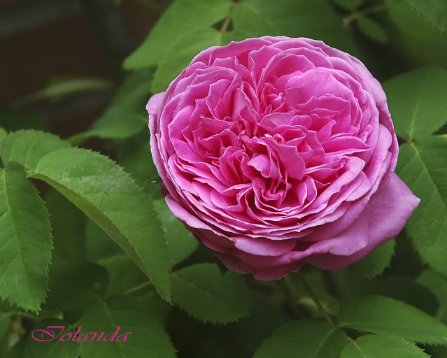 Algunas rosas de mi jarín :) - Página 3 DSC_2637rec