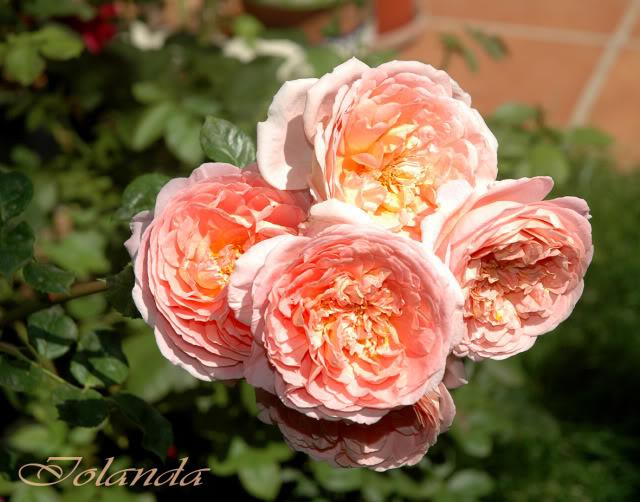 Algunas rosas de mi jarín :) - Página 2 DSC_2661rec