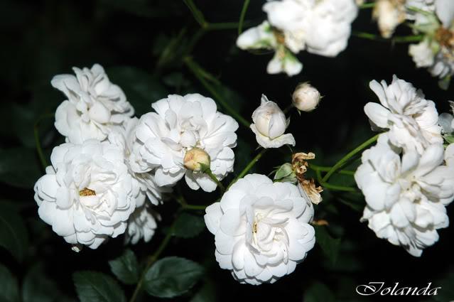 Algunas rosas de mi jarín :) - Página 3 DSC_2726rec