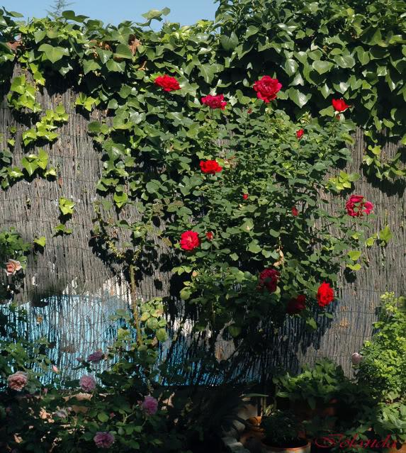 Algunas rosas de mi jarín :) - Página 3 DSC_2848rec