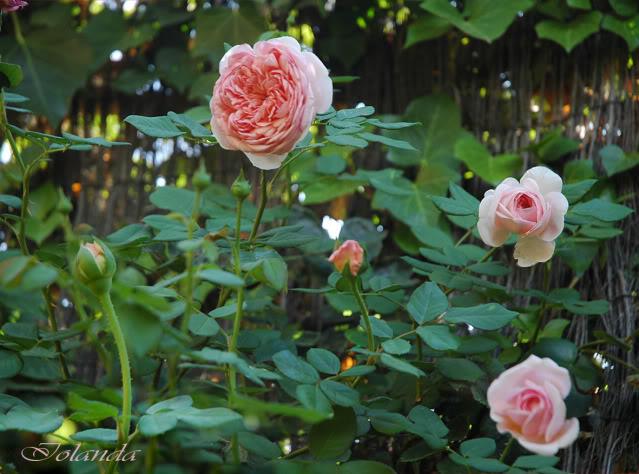 Algunas rosas de mi jarín :) - Página 4 DSC_2869rec