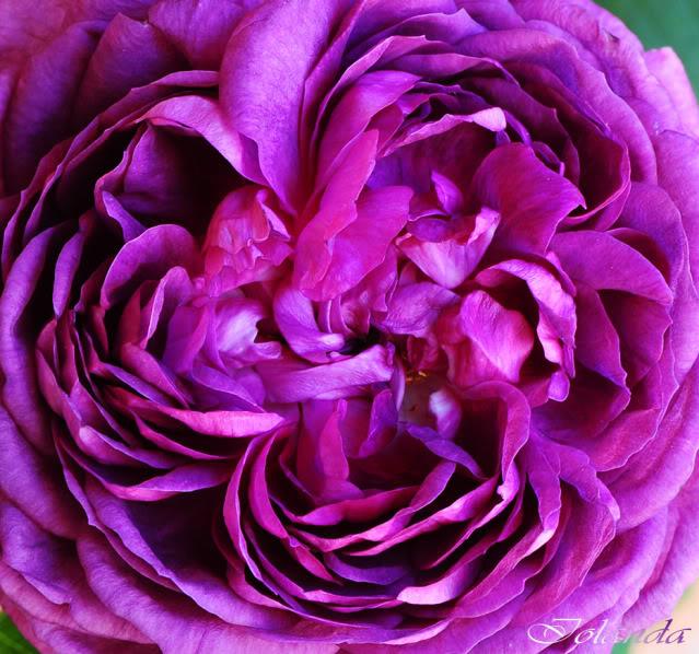 Algunas rosas de mi jarín :) DSC_7179recrecrec