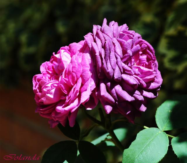 Algunas rosas de mi jarín :) DSC_7539doscolores02