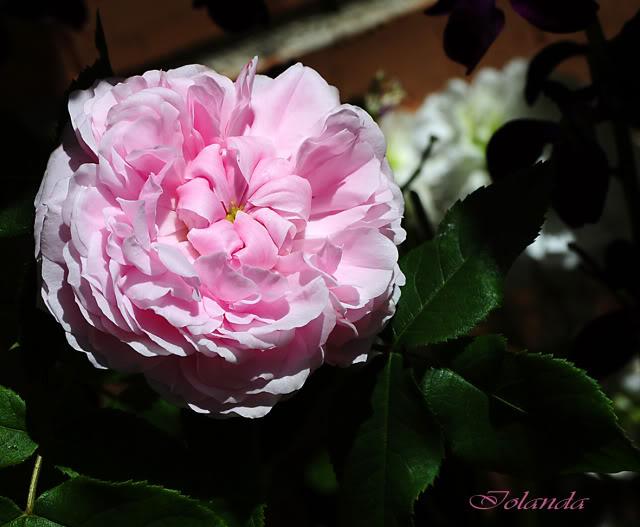 Algunas rosas de mi jarín :) - Página 3 DSC_7555rec