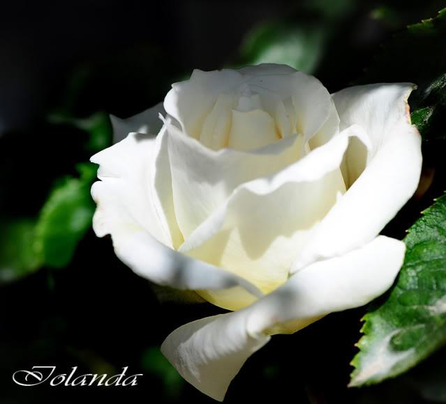 Algunas rosas de mi jarín :) - Página 3 DSC_8026rec