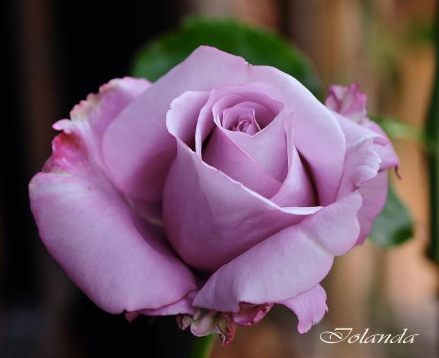 Algunas rosas de mi jarín :) - Página 3 DSC_8151rec