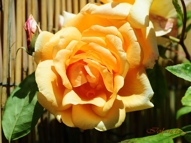 Algunas rosas de mi jarín :) - Página 3 DSC_8189rec