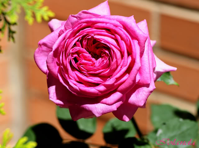 Algunas rosas de mi jarín :) - Página 3 DSC_8207rec