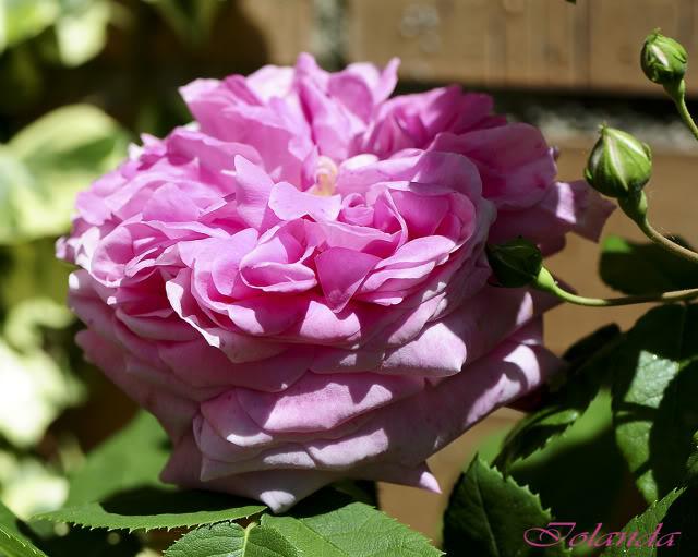 Algunas rosas de mi jarín :) - Página 3 DSC_8214rec