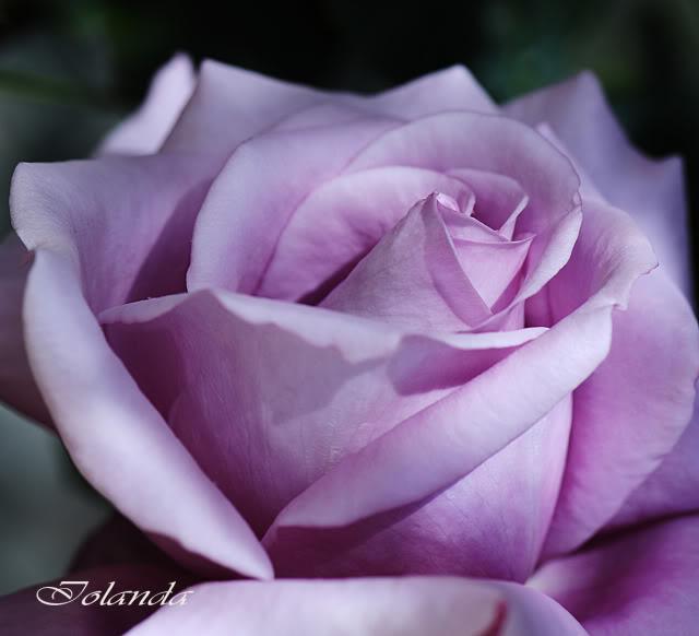 Algunas rosas de mi jarín :) - Página 3 DSC_8225rec-1