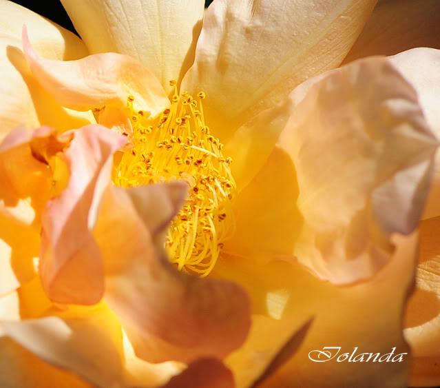 Algunas rosas de mi jarín :) - Página 3 DSC_8280recrec
