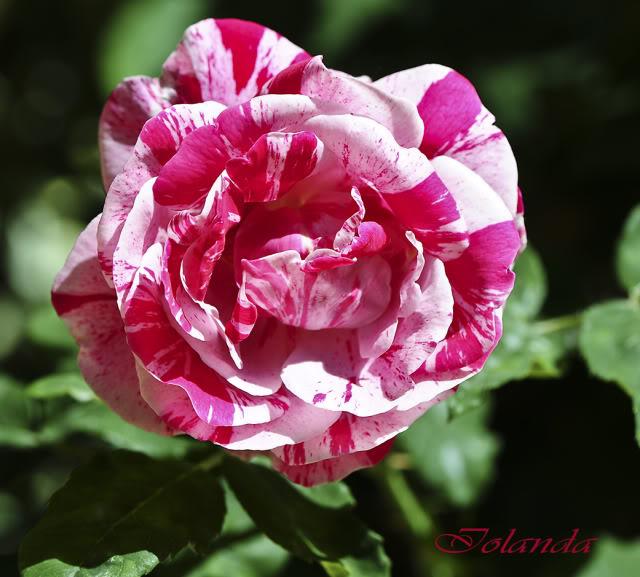 Algunas rosas de mi jarín :) - Página 3 DSC_8290rec
