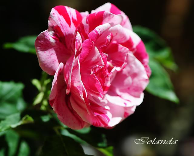 Algunas rosas de mi jarín :) - Página 3 DSC_8291rec