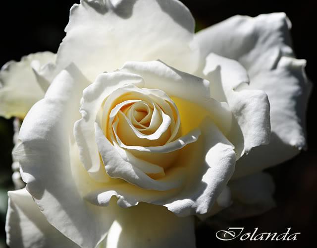 Algunas rosas de mi jarín :) - Página 3 DSC_8293rec