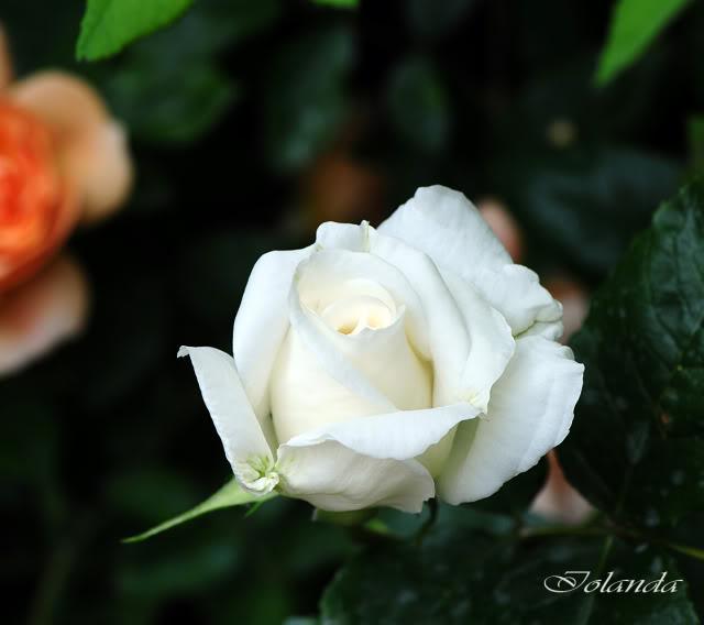 Algunas rosas de mi jarín :) - Página 3 DSC_8398rec